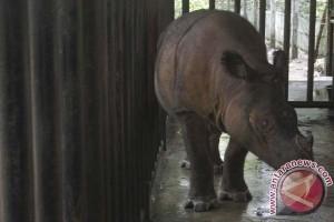 Seekor badak sumatera akan dipulangakan dari Amerika Serikat