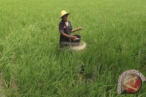 Gorontalo Utara akan kembangkan padi Ponelo Harum