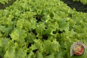 Warna selada tentukan kecepatan efek antioksidan