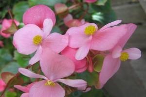 Peneliti Kebun Raya temukan Begonia jenis baru