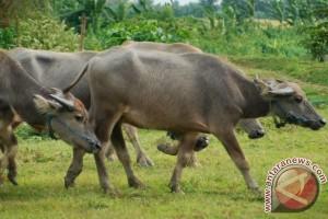 Lebak siap pasok daging kerbau untuk Lebaran