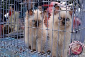 Tiga kucing hutan diselamatkan dari perdagangan ilegal