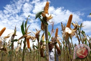 Rusli Habibie optimistis Gorontalo mampu produksi sejuta ton jagung