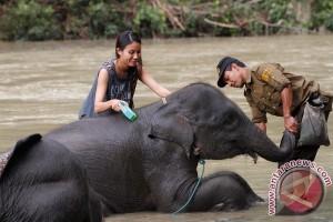 Dua bayi gajah lahir di konservasi BEC