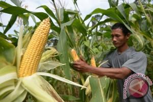 BKPPIJ kembangkan jagung Bonia yang telah punah