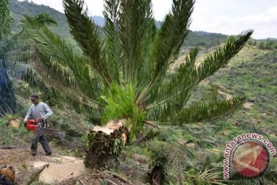 Penebangan Pohon Sawit Ilegal