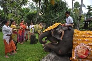Libur Imlek, kunjungan wisatawan Bali zoo melonjak