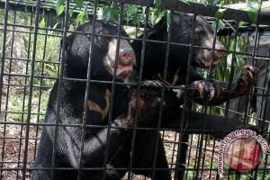 BBKSDA Riau turunkan tim buru beruang liar serang petani karet