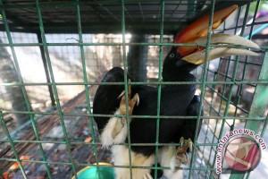 IHCS : perdagangan paruh burung Rangkong semakin terorganisasi