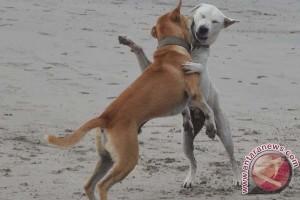 Anjing liar di Lebak sering mangsa ternak rakyat