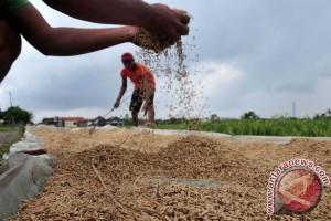 Hama wereng serang ratusan hektare sawah Karawang