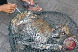 Januari-April 13 kasus gigitan anjing rabies di Sukabumi