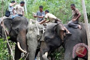 Warga panik gajah liar masuk kota Pekanbaru