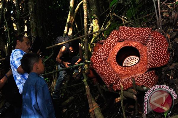 Dua jenis bunga raflesia mekar bersamaan di Bengkulu