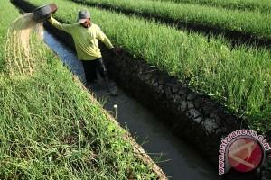 IPB teliti virus utama pada tanaman bawang