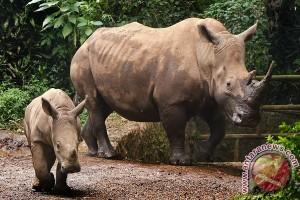 Khawatir dibunuh, kebun binatang Ceko potong cula badak langka