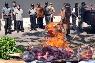 Pemusnahan Daging Sapi Glonggongan