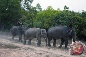 Gajah Sumatra Terancam Punah