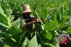 Temanggung luncurkan varietas baru tembakau Kemloko