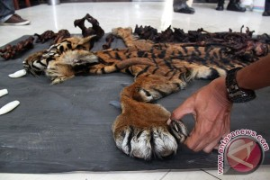 Earth Wire -- Environment and forestry officials confiscate sumatran tiger skin