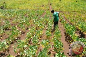 Banyuwangi jadi percontohan nasional produksi kedelai