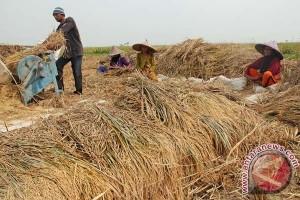Produksi padi Kaltim akan naik 2.546 ton