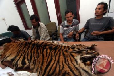 Polisi ringkus tiga tersangka pemburu harimau sumatera