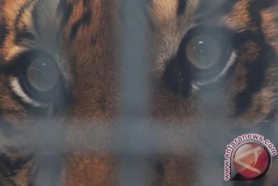 Relawan bersihkan hutan Bengkulu dari jerat harimau