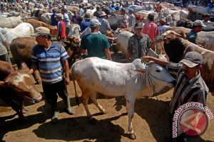 Harga sapi di Bantul naik Rp1,5 juta/ekor