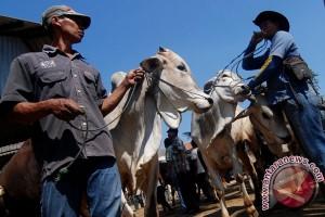 Sapi petani Gunung Kidul diburu pedagang