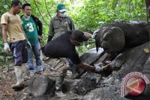 BKSDA Aceh nyatakan 41 gajah mati