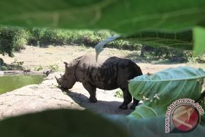 Seorang perempuan ditangkap membawa 20 kilogram cula badak