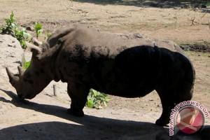 Perburuan badak di Afrika Selatan turun