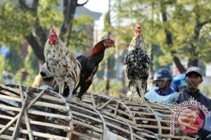 Harga daging ayam kampung di Ambon Rp120.000/ekor
