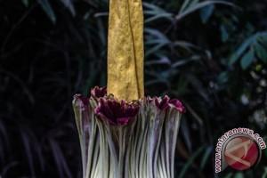 Bunga tertinggi di dunia mekar di Bengkulu