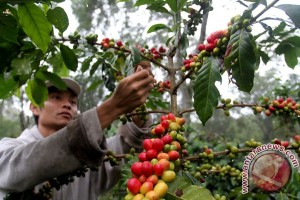 Indonesian ministry to intensify coffee plantation