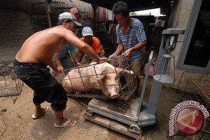 Jumlah babi kalahkan sapi di NTT