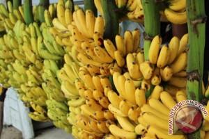 Ilmuan temukan cara perpanjang umur pisang