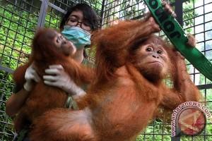 ProFauna: tiga jenis primata Indonesia terancam punah