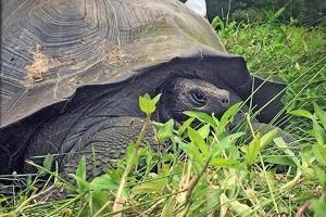 Spesies baru kura-kura raksasa di Galapagos