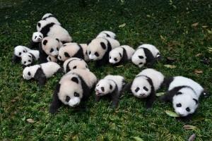 Kebun binatang Jepang rayakan kelahiran bayi panda