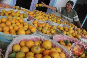 Hama rusak jeruk garut menjelang matang