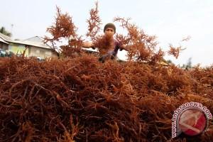 Pemerintah setengah hati berdayakan petani rumput laut