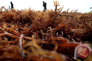 Panen Rumput Laut