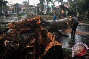 Hujan deras dan angin kencang tumbangkan pepohonan di Jember