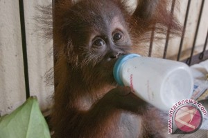 Bayi orangutan yang tertembak di Kalteng selamat