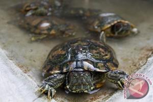 BKSDA selamatkan 184 telur penyu dari pantai