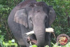 Gajah kembali berkeliaran di jalanan Yunnan, Tiongkok