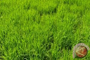 Sumut targetkan produksi padi 5,2 juta ton