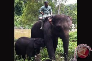 Bayi gajah terlahir cacat bisa berdiri untuk pertama kalinya